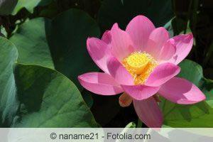Lotusblume anpflanzen