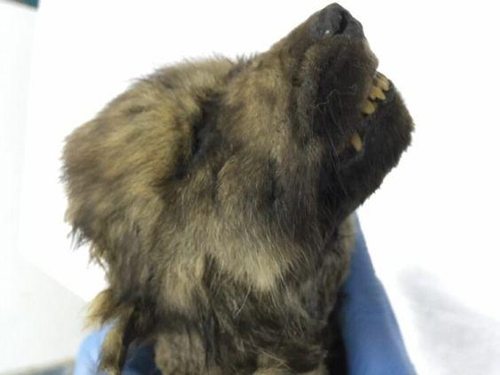 18.000 jaar oud - 'wolven' pup gevonden