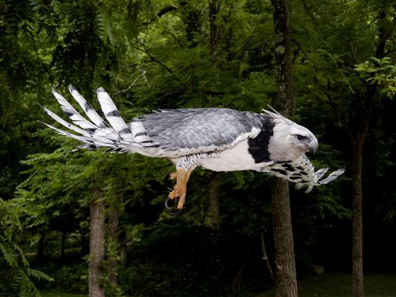 Harpy Eagle in flight. <3