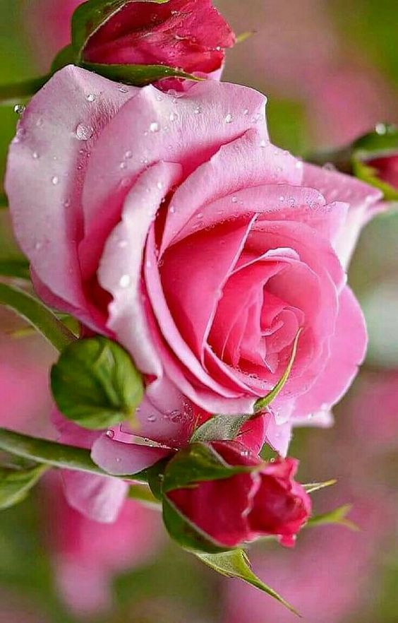 Lovely Wet And Fresh Rose For Lovely Friends Hybrid