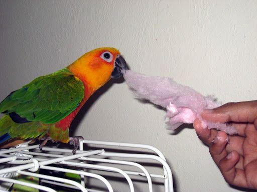 Conures enjoy cotton candy