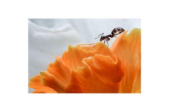 Ant via BAJANA Fine art SHOP. Click on the image to see more!