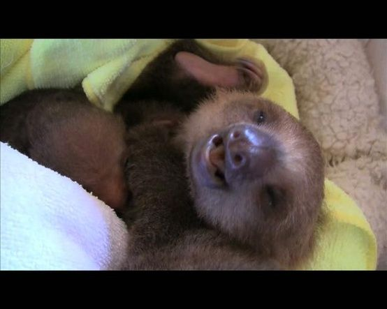 SLOTHS! - Click image to find more Animals Pinterest pins
