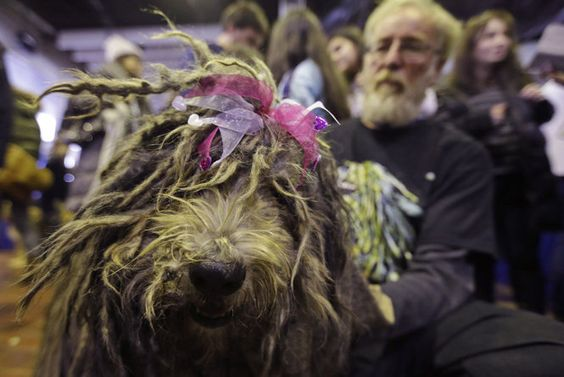 westminster dog show 2015 | Westminster Dog Show 2015 | masslive.com