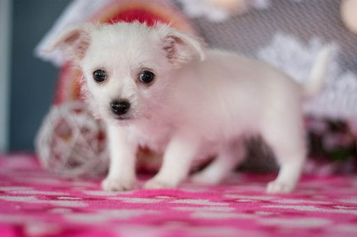 Malchi Puppy For Sale In Kent Oh Adn 62502 On Puppyfinder Com