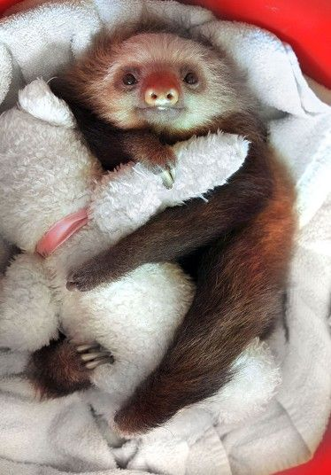 A resident of Aviarios Del Caribe, a sloth sanctuary in Costa Rica, cuddles up with his teddy bear