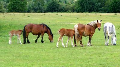 (cheval) étalon, jument, poulain