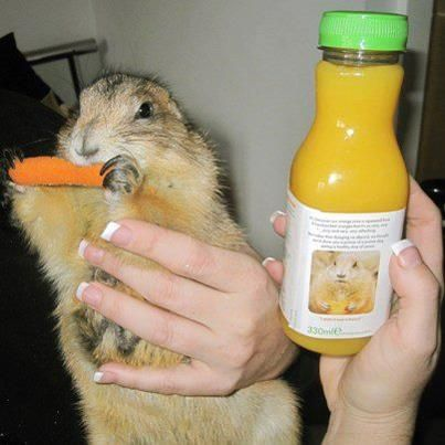 Laura and David were rather pleased when they discovered a picture of a prairie dog on our orange juice label. They have 8 of the furry little things themselves. Prairie dog on our label meet prairie dog in real life. So cute IMPDO.