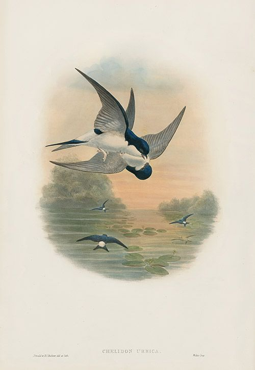 Chelidon Urbica - House Martin USD $525 Bird Prints by John Gould 1862