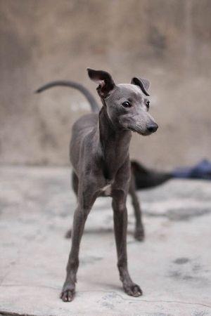 Sweet Italian Greyhound: