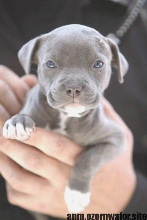 Most Current Free Of Charge Dogs And Puppies Pitbull Style