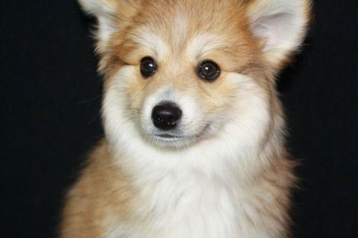 Pomsky Puppy For Sale In Keller Tx Adn 69882 On Puppyfinder Com Gender Male Age 11 Weeks Old Pomsky Puppies Pomsky Puppies For Sale Puppies For Sale