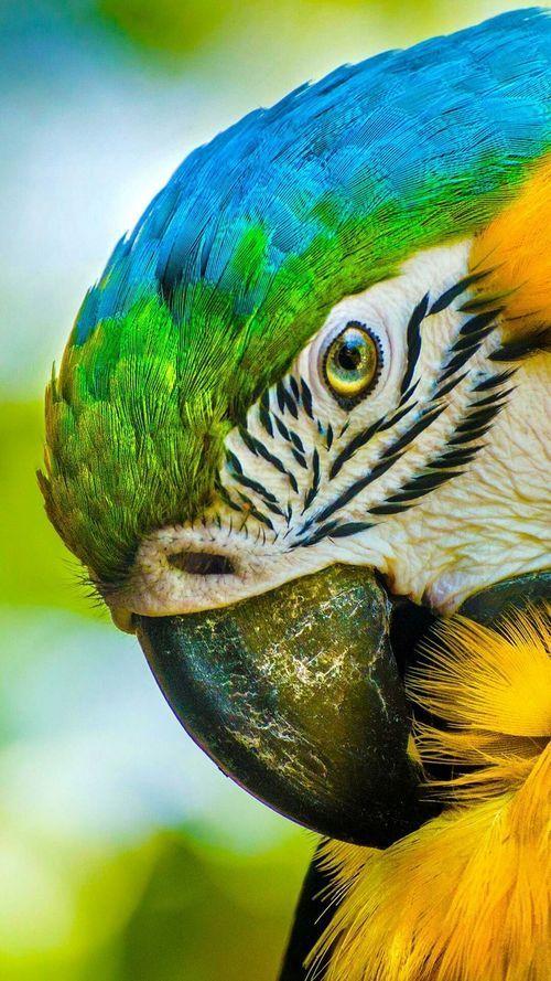 B&G macaw