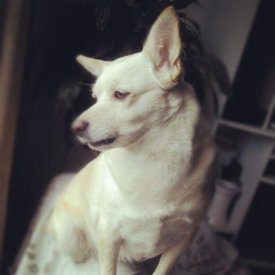Akita dog. My cute Odesa