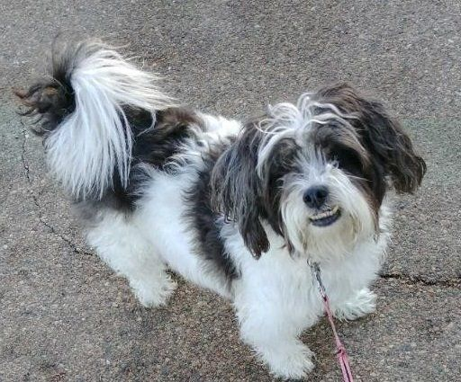 Lost Dog Minneapolis Shih Tzu Female Date Lost 03 25 2019 Dog S Name Chloe Breed Of Dog Shih Tzu Gender Female Clos Shih Tzu Dog Shih Tzu Losing A Dog