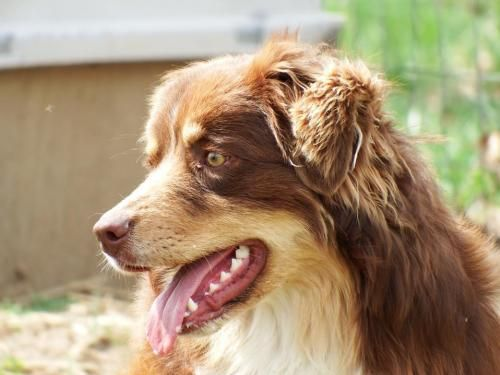 Meet Dean, a Petfinder adoptable Australian Shepherd Dog   Sparta, TN   Dean - Available for Rescue or Adoption 03/21/2015Male, 1 Year Old, 60 Pounds, Australian...