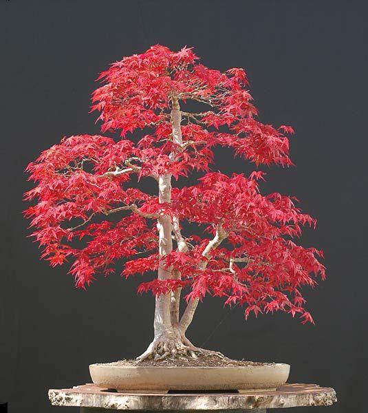 blühender Indoor Garten Bonsai Bäume richtig pflegen