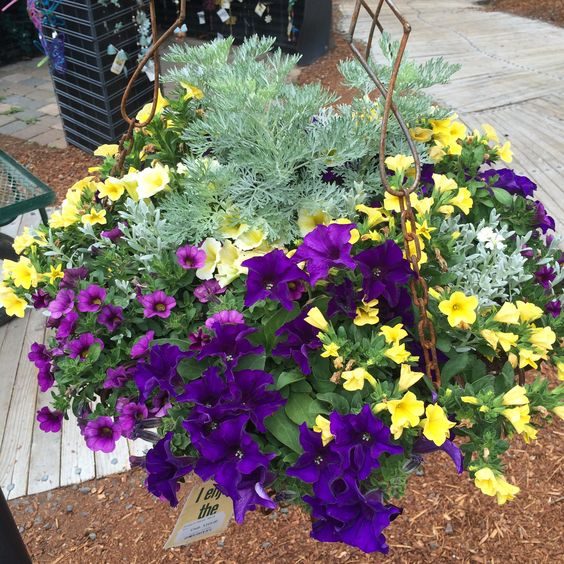 Sun hanging basket yellow-purple 2014