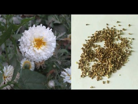 Collect Chrysenthemum Seeds How To Harvest Chrysenthemum Seed English Youtube Flower Seeds Chrysanthemum Seeds Chrysanthemum Flower Seeds