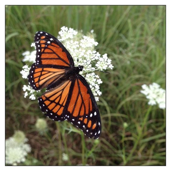 Viceroy Butterfly on Queen Anne's Lace.