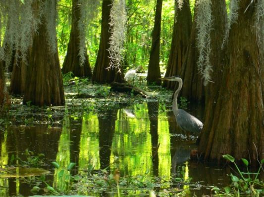Lake Martin, Louisiana, Swamp |: