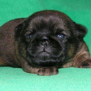 Cães Pequeno Brabançon