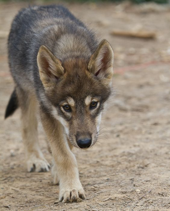 9 week old Timber Wolf pup