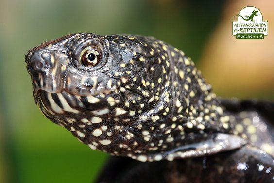 Aber auch einheimische Reptilien, wie diese Europäische Sumpfschildkröte, werden immer wieder fälschlicherweise bei uns abgegeben. Wann immer möglich werden solche Tiere wieder ausgewildert oder an kooperierende Ansiedlungsprojekte abgegeben.