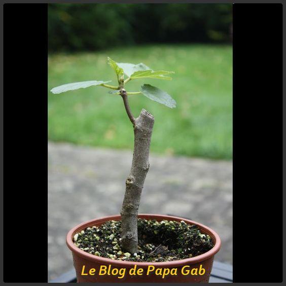 Bouturer un figuier en 5 tapes jardin pinterest - Comment tailler la menthe ...