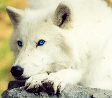beautiful blue white wolf - photo #16