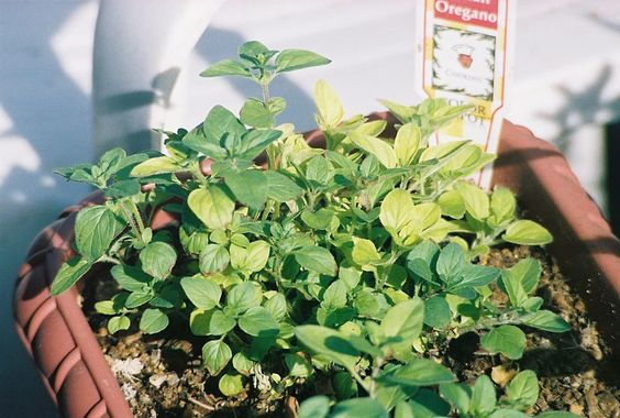 Oregano: Origanum vulgare