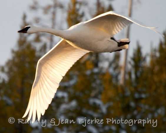 Jean Bjerke's Photo Blog: Trumpeter Swans on Henry's Fork