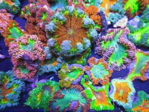 Ultra Rock Flower Anemone Packs Sea Anemone From The Caribbean Anemone Sea Anemone Flowers