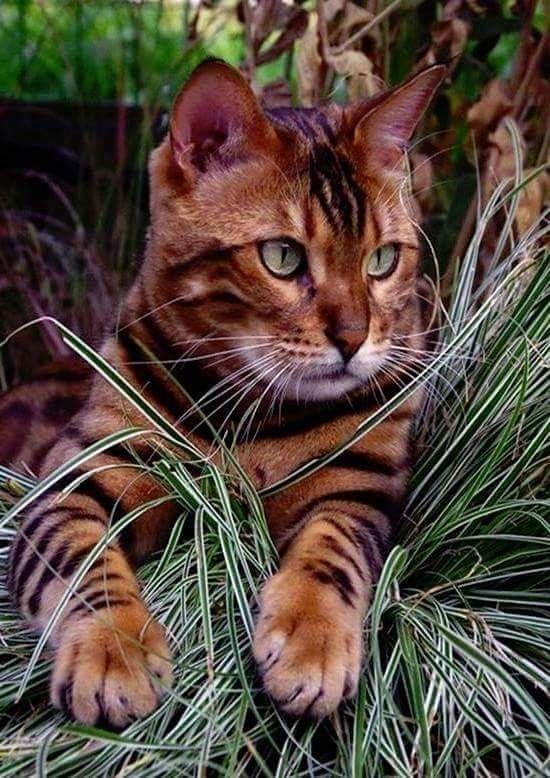 Pin By Debbi Tackett On Cats Kittens Cats Domestic Cat Cute Cats