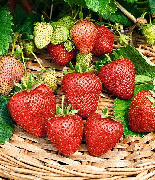 Immertragende Erdbeere Buddy 1a Qualitat Baldur Garten Erdbeeren Pflanzen Pflanzen Erdbeerpflanzen