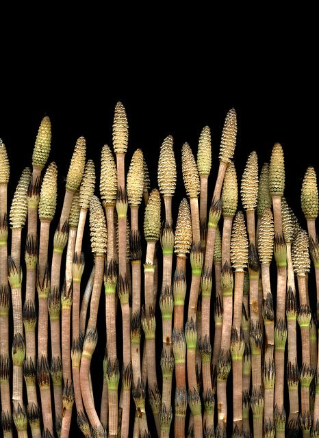 Horsetails emerging. Did you know that this form of the fertile tip is edible?
