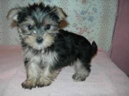 I Have A Maltese Yorkie Mix Named Truffles I Love Himm 3