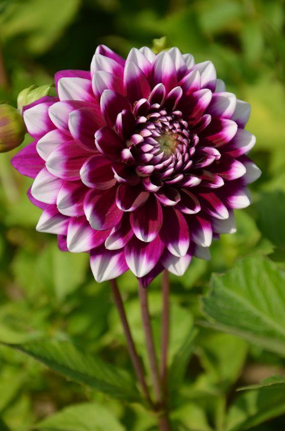 My favorite flower is a Dahlia