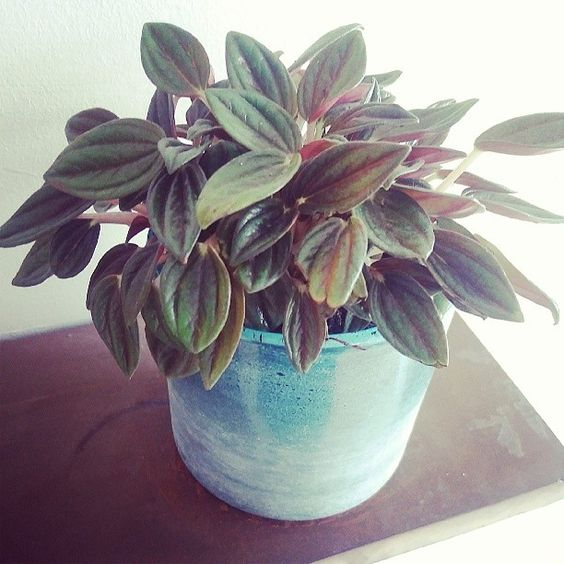 Remember my little peperomia from @spiderplantshop? I repotted it into a candle holder, where it seems very happy! #houseplant #greenfingers: