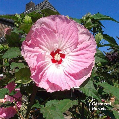 Winterhart hibiskus große blüten Hibiskus
