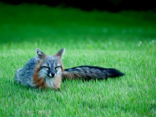 The ever new collection of gray fox animal desktop wallpaper