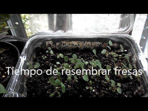 Tiempo de resembrar fresas