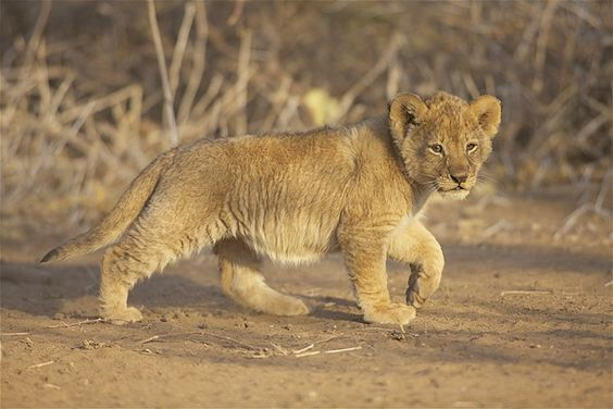 african lion cub (© Heinrich van den Berg/Getty Images)