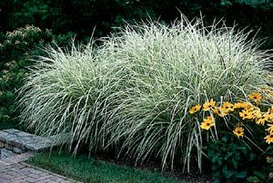 Gardens front gardens and google on pinterest for Tall oriental grass