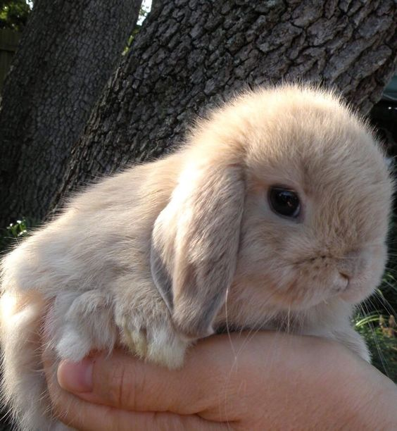 Holland Lop Rabbit My future pet! So excited to get one of these - resume rabbit cost