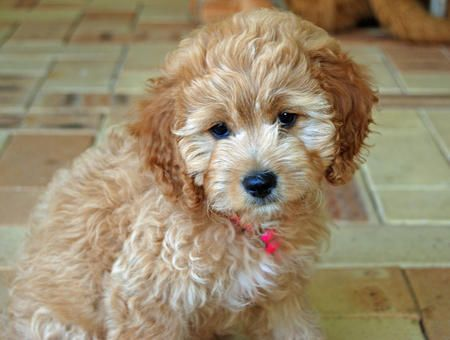 Havanese + poodle - hypoallergenic dogs. if he really in hypoallergenic im getting one. look at that face