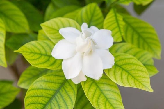 Plants Archives Kyora Landscapes With Images Gardenia Plant