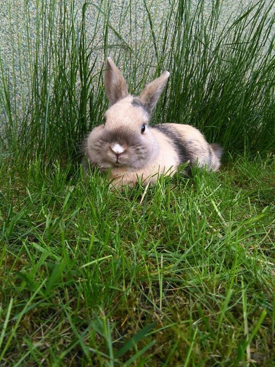Harlequin bunny in the grass
