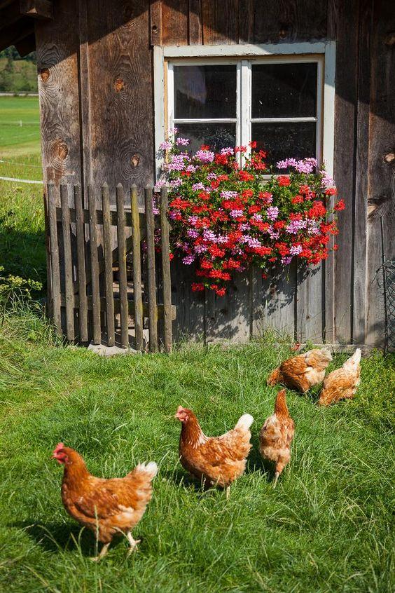 glückliche Hühner biem Ferienhof Hagenauer in #Oberbayern #bauernhofurlaub ein Erlebnis: