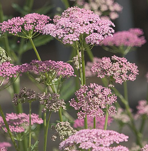 Pimpinella major 'Rosea' : Like a refined, pink flowered cow-parsley. Makes a nice spreading plant in ordinary soil. 60cm. high.